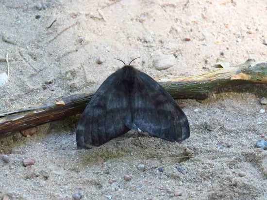 Mariposa negra/Hylesia nigricans