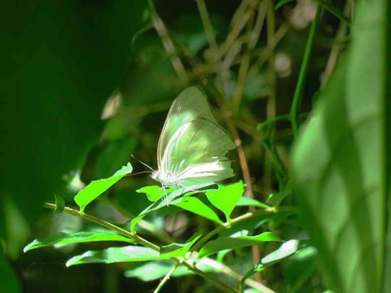 Nacarada/Tropical White