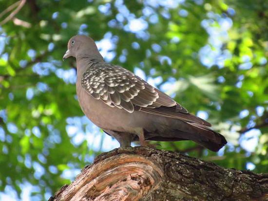 Paloma manchada/Spote-winged Pigeon