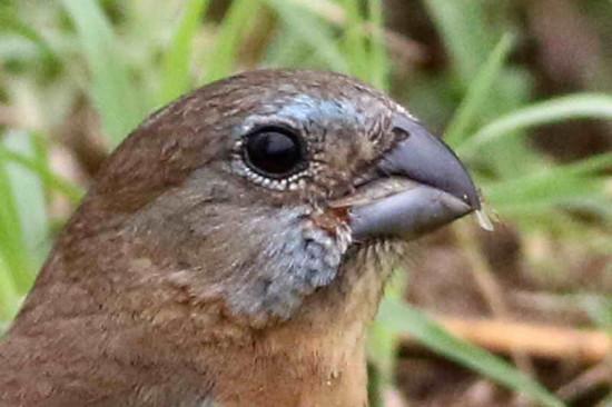 Reinamora chica/Glaucous-blue Grosbeak