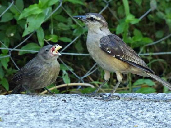 tordo-calandria/Cowbird-Mockingbird
