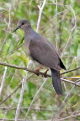 Yerutí común/White tipped Dove