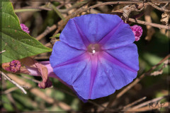 Campanilla violeta/Ocean blue morning glory