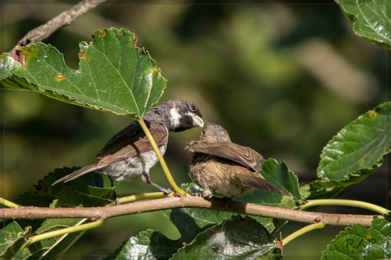Corbatita común-Double-collared Seedeater