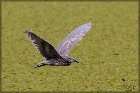 Garza bruja/Balck-crowned Night-Heron