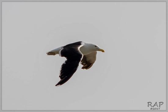 Gaviota cocinera/Kelp Gull