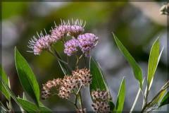 Aliso de río/Tessaria integrifolia