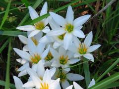 Azucenita del campo/Zephyr lily