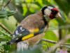 Cardelino/European Goldfinch