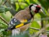 Cardelino/European Goldfinch