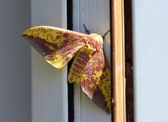 Polilla real/Imperial moth