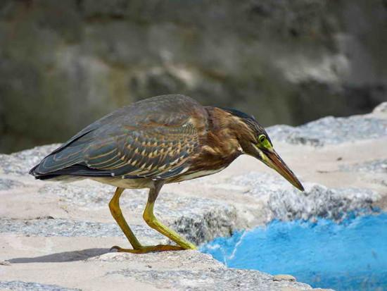 Garcita azulada/Striated Heron