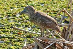 Garza bruja/Black-crowned Night-Heron