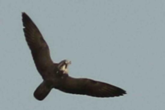 Halcón peregrino/Peregrine Falcon