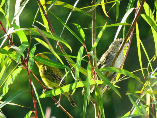 Jilguero dorado/Saffron Finch