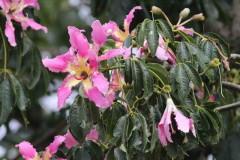 Palo borracho/Sild floss tree