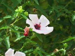 Pavonia/Pink pavonia