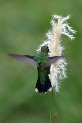 Picaflor común/Glitteriing-bellied Emerald