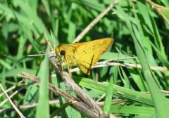 Saltarina amarilla/Hylephila phileus