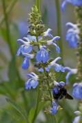 Salvia pallida/Pale sage