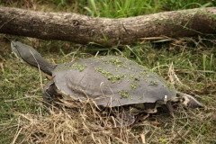 Tortuga de laguna/Side-necked turtle