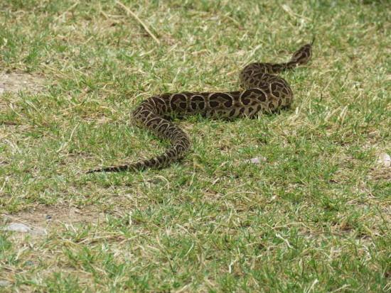 Yarará/Urutu Pit viper