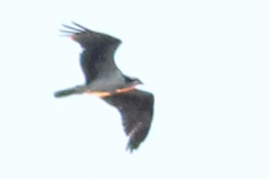 Águila pescadora/Osprey