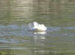 Ánade-pekin/Mallard-Pekin Ducks