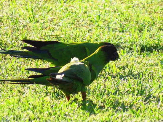 Ñanday/Black-hooded Parakeet