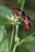 Chinche tricolor/Red bug