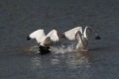 Cosocoroba-ánade/Swan-Mallard