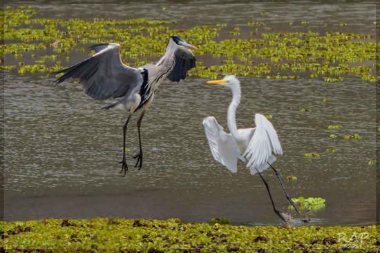 Garzas mora y blanca/Cocoi Heron - Great Egret