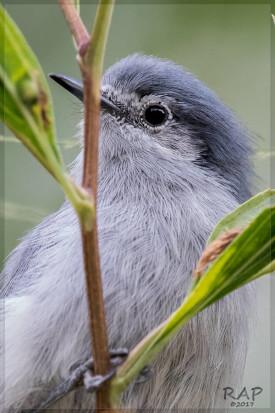 Tacuarita azul/Masked Gnatchatcher