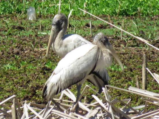 Tuyuyú/American Wood Stork