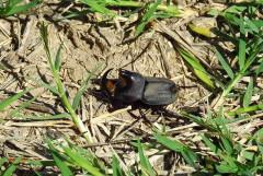 Bicho torito/Rhino beetle