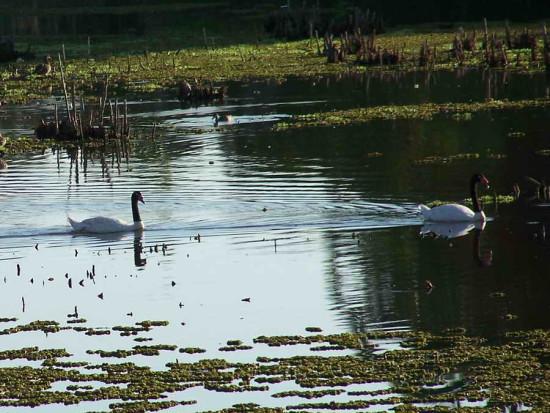 Cisne cuello negro/Black-necked Swan
