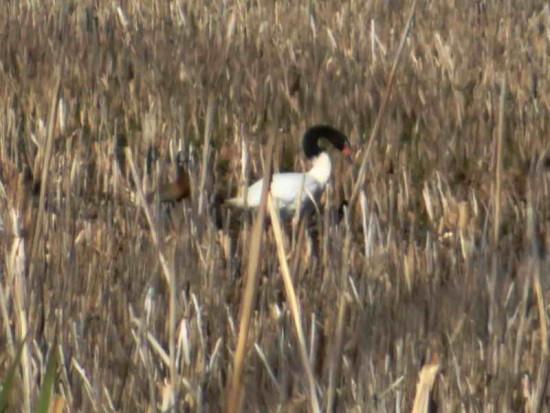 Cisne-sirirí/Swan/Whistling-duck