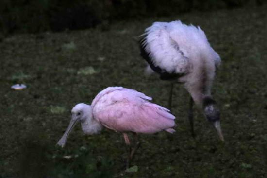 Espátula tuyuyú/Spoonbill-Wood Stork