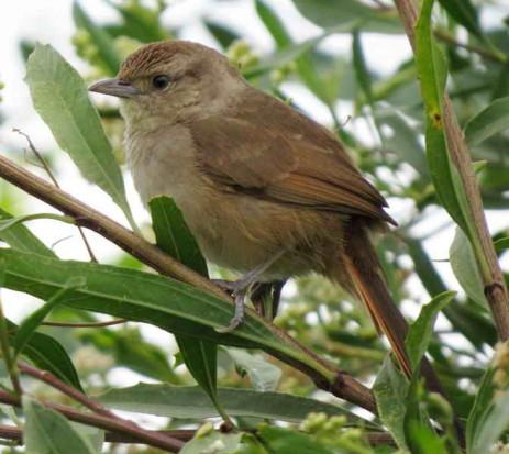 Espinero chico/Little Thornbird