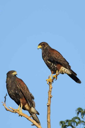 Gavilán mexito/Harris's Hawk
