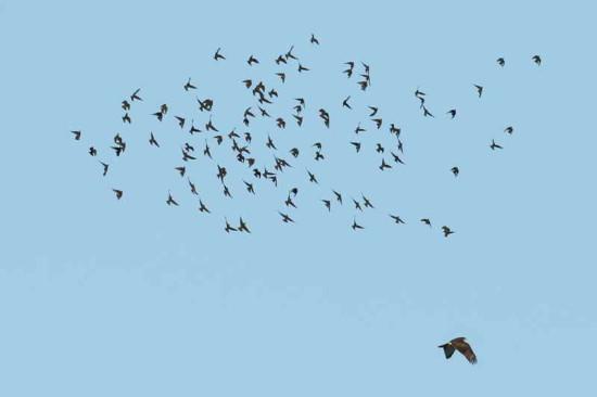 Gavilán-estornino/Hawk/Starling
