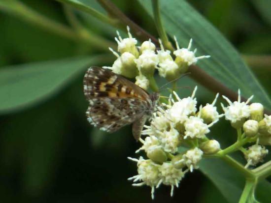 Hormiguera común/Aricoris signata