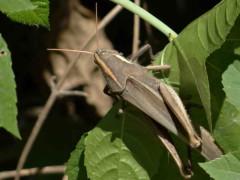 Langosta de líneas blancas/Yellow-lined Grasshopper