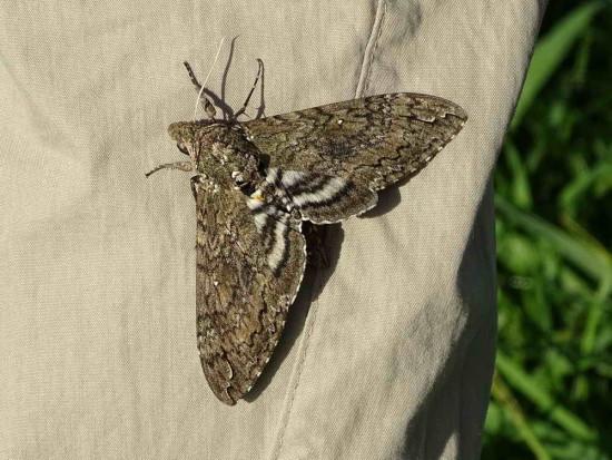 Polilla del cuerno del tabaco/Carolina Sphinx Moth