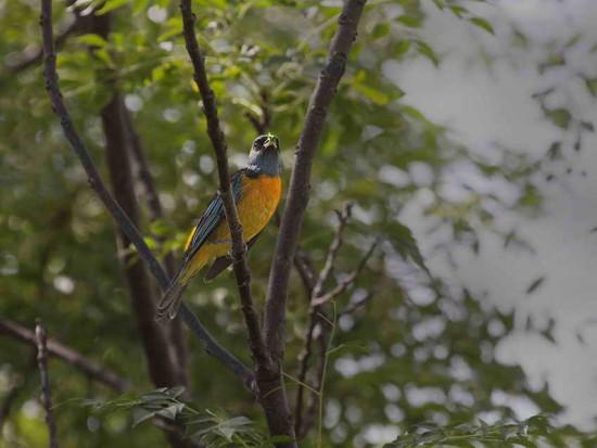 Naranjero/Blue-and-yellow Tanager