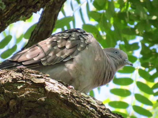 Paloma manchada/Spot-wined Pigeon