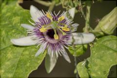 Pasionria de hoja de moral/Woodland Passion flower