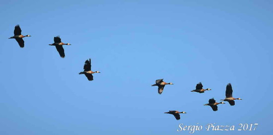 Sirií pampa/White-faced Whistling-Duck