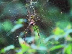 Araña de seda de oro/Golden silk Orbweaver