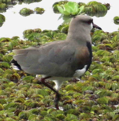 Tero común/Southern Lapwing